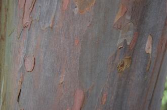 Eucalyptus nitida bark (21/01/2012, Kew, London)