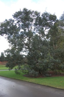 Eucalyptus nitida (21/01/2012, Kew, London)