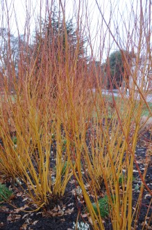 Salix alba 'Vitellina' (18/02/2012, Kew, London)