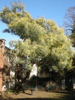 Acacia dealbata (25/02/2012, London)