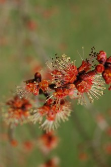 Acer rubrum flower (11/03/2012, Kew, London)