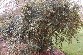 Berberis julianae (11/03/2012, Kew, London)