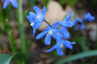 Chionodoxa forbesii Flower (11/03/2012, Kew, London)