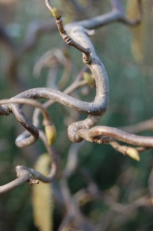 Corylus avellana 'Contorta' Stem (11/03/2012, Kew, London)