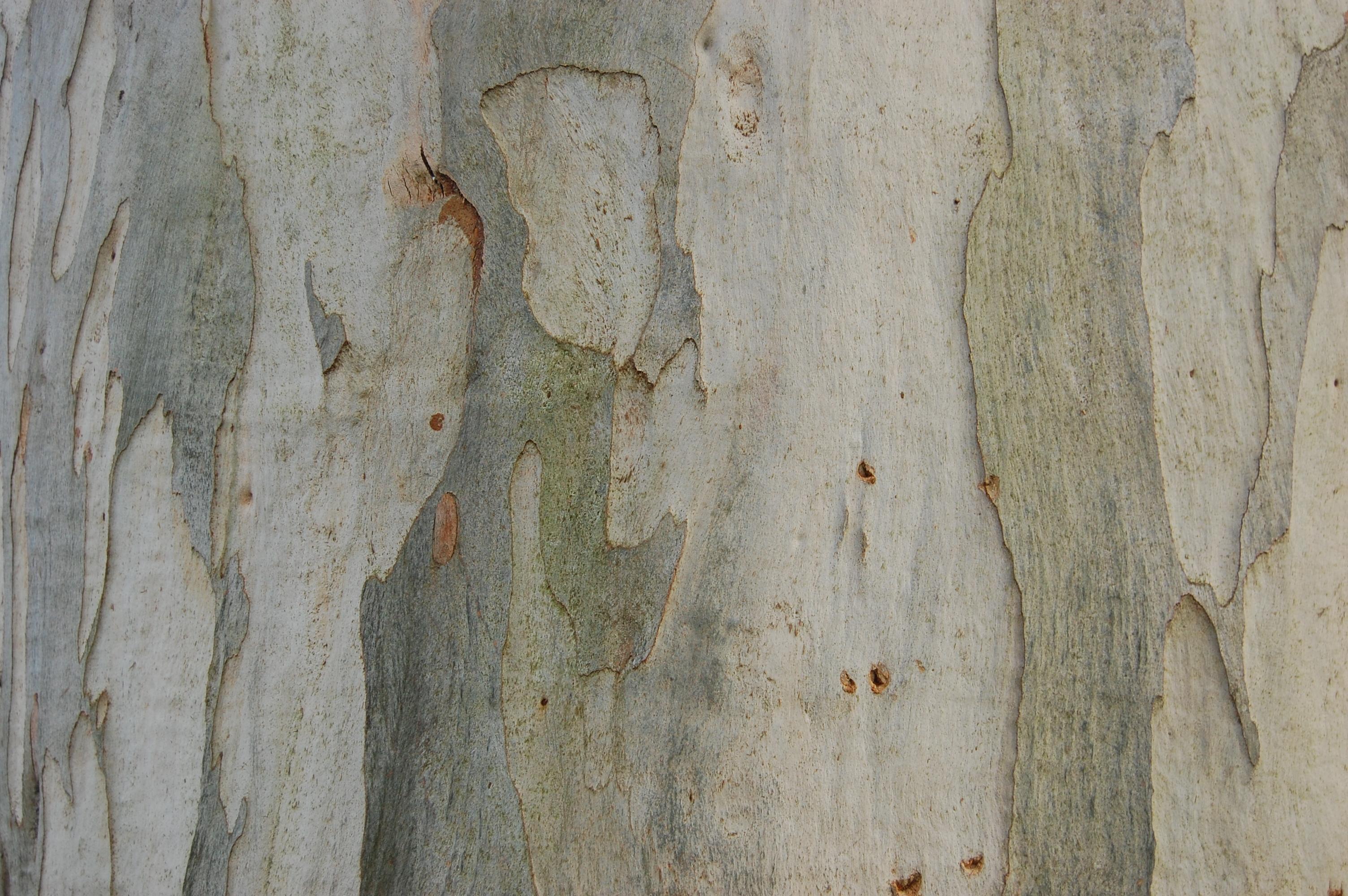 eucalyptus-viminalis-bark.jpg