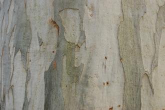 Eucalyptus viminalis Bark (11/03/2012, Kew, London)
