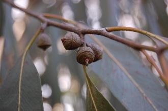 Eucalyptus viminalis Fruit (11/03/2012, Kew, London)