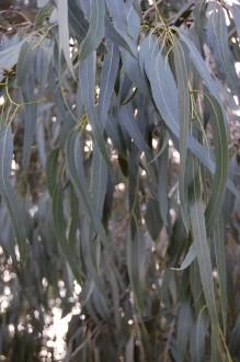 Eucalyptus viminalis Leaf (11/03/2012, Kew, London)