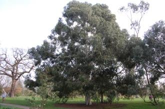Eucalyptus viminalis (11/03/2012, Kew, London)