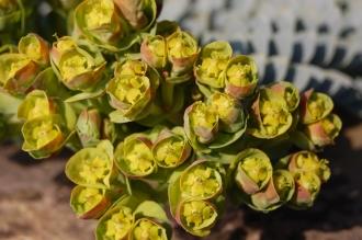 Euphorbia myrsinites Flower (11/03/22012, Kew, London)