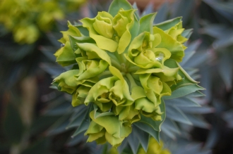 Euphorbia pontica detail (18/02/2012, Kew, London)