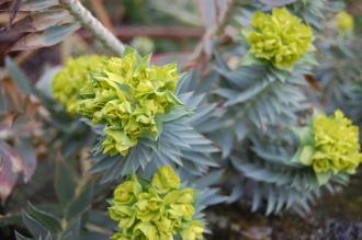 Euphorbia pontica (18/02/2012, Kew, London)