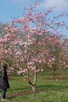 Magnolia sprengeri 'Diva' (11/03/2012, Kew, London)