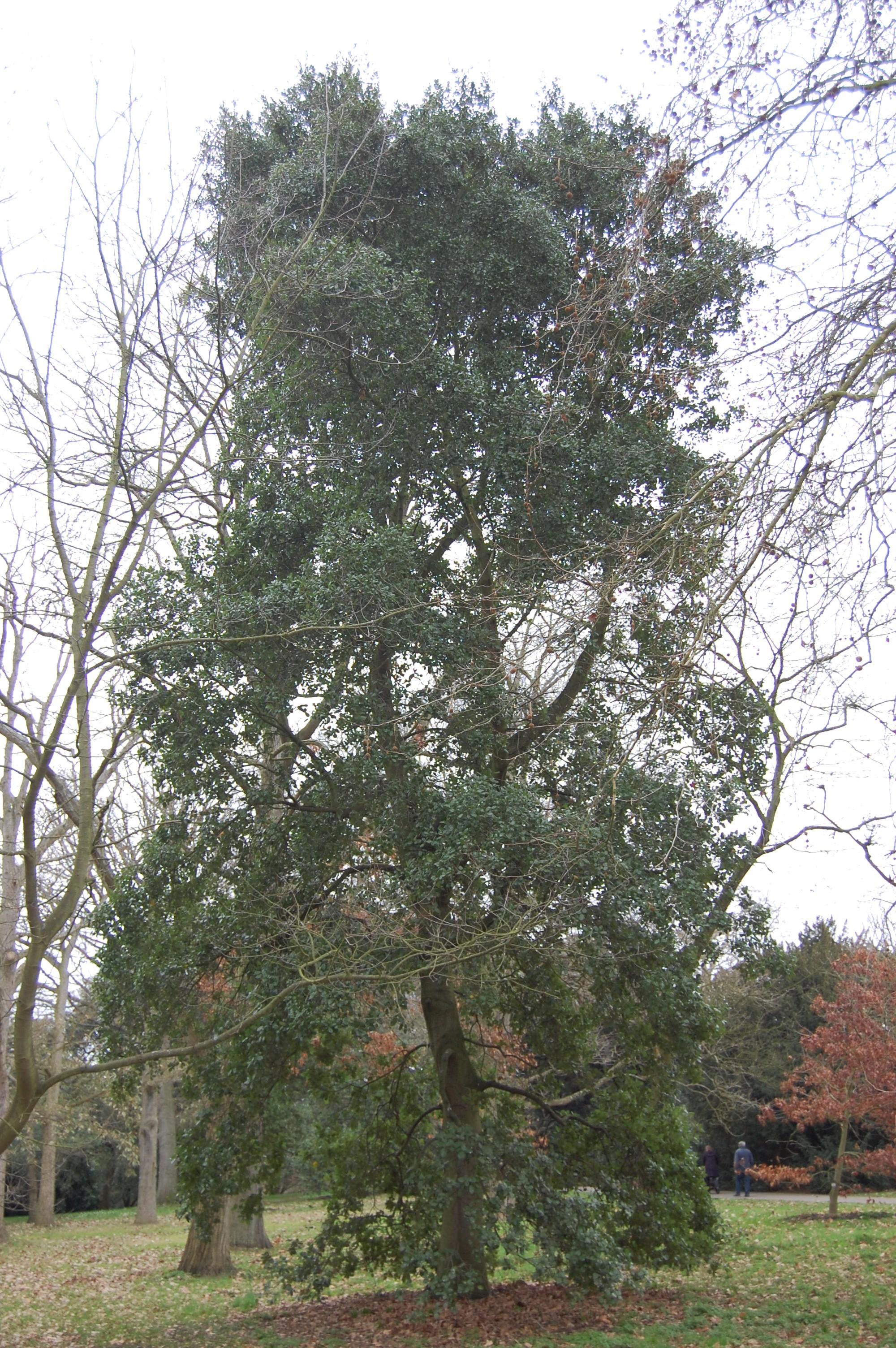 Quercus agrifolia   la...