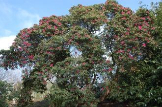 Rhododendron arboreum (11/03/2012, Kew, London)
