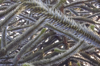 Araucaria araucana Branches (11/03/2012, Kew, London)