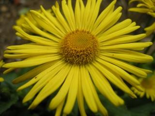 Doronicum orientale 'Little Leo' Flower (o7/04/2012, London)