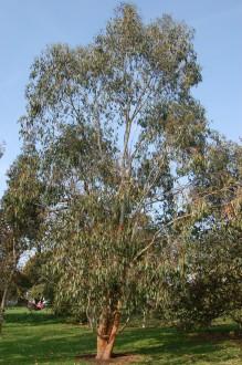 Eucalyptus delegatensis (11/03/2012, Kew, London)