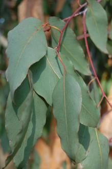 Eucalyptus delegatensis Leaf (11/03/2012, Kew, London)