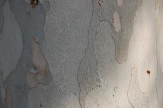 Eucalyptus perriniana Bark (11/03/2012, Kew, London)