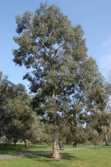 Eucalyptus perriniana (11/03/2012, Kew, London)