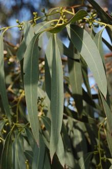 Eucalyptus perriniana Leaf (11/03/2012, Kew, London)