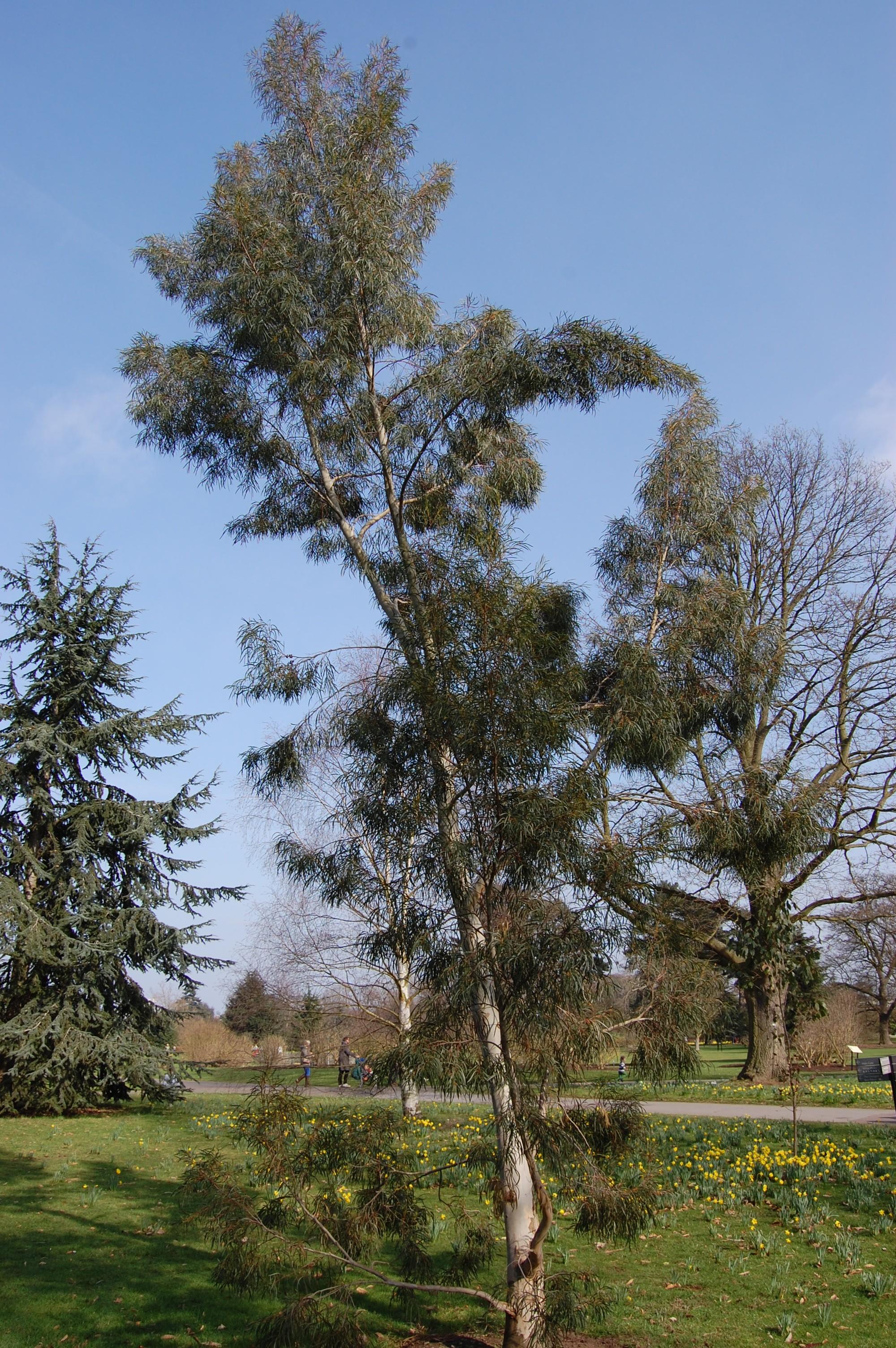 Eucalyptus Pulchella Landscape Architects Pages