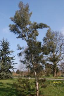 Eucalyptus pulchella (07/03/2012, Kew, London)