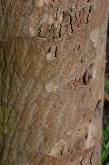 Eucalyptus urnigera Bark (11/03/2012, Kew, London)