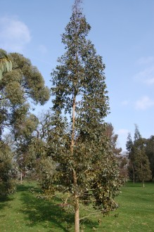 Eucalyptus urnigera (11/03/2012, Kew, London)