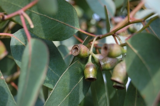 Eucalyptus urnigera Fruit (11/03/2012, Kew, London)