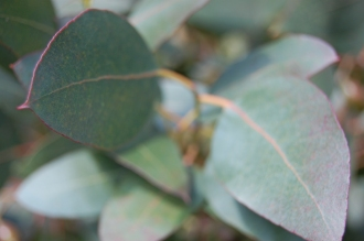 Eucalyptus urnigera Leaf (11/03/2012, Kew, London)