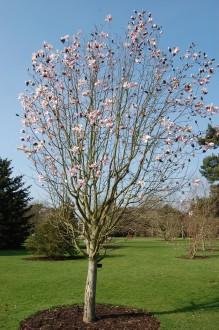 Magnolia salicifolia (11/03/2012, Kew, London)