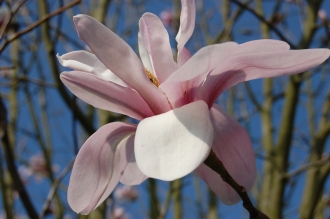 Magnolia salicifolia Flower (11/03/2012, Kew, London)