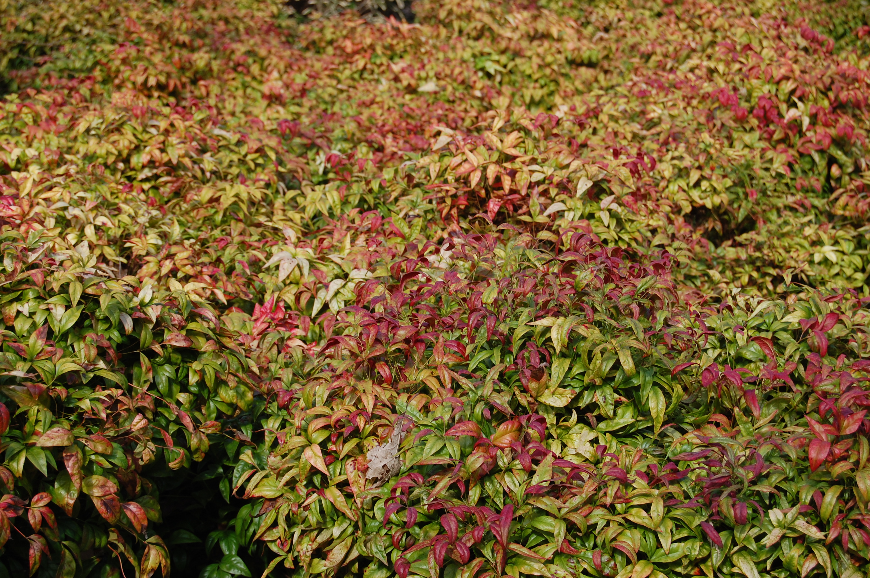 Nandina domestica 'Firepower' | landscape architect's pages Nandina Domestica Firepower