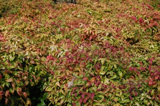 Nandina 'Firepower' (11/03/2012, Kew, London)