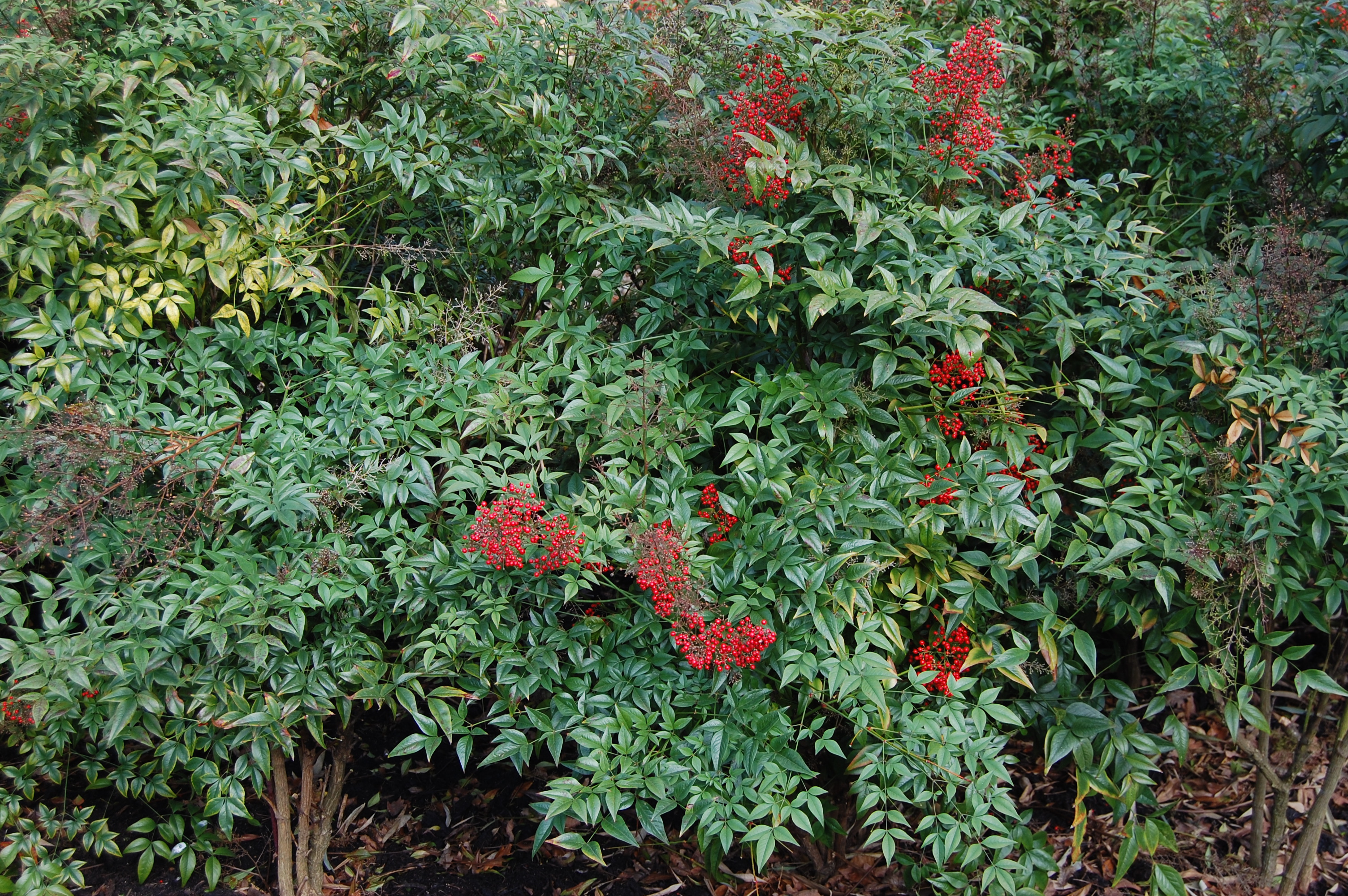 Sacred bamboo landscape architect 39 s pages for Plante nandina