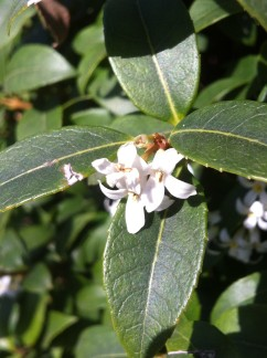 Osmanthus x burkwoodii Flower (01/04/2012, London)