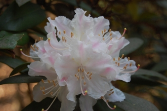 Rhododendron 'Rosa Mundi' Flower (11/03/2012, Kew, London)
