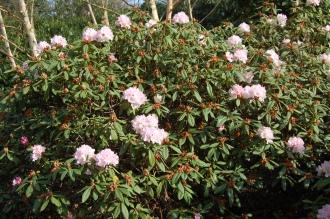 Rhododendron 'Rosa Mundi' (11/03/2012, Kew, London)