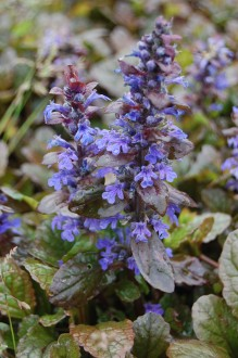 Ajuga reptans 'Braunherz' Flower (06/05/2012, Kew, London)
