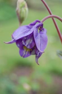 Aquilegia vulgaris Flower (05/05/2012, Kew Gardens, London)