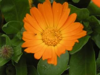 English Marigold Flower (09/05/2012, London)