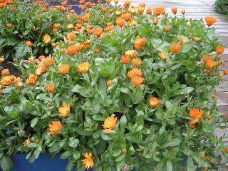 English Marigold (09/05/2012, London)