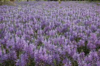Camassia leichtlinii (05/05/2012, Kew, London)