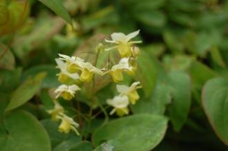 Epimedium x versicolor 'sulphureum' Flower (05/05/2012, Kew, London)