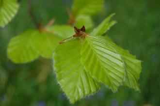 Beech Leaf (05/05/2012, Kew, London)