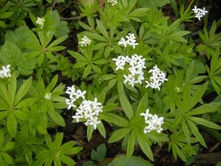 Asperula odoratum detail (22/04/2012, London)