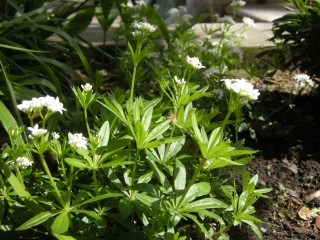 Asperula odoratum (22/04/2012, London)