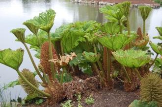 Gunnera manicata (05/05/2012, Kew Gardens, London)